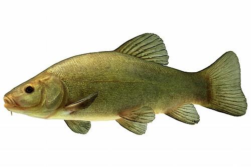 Ma boite à pêche et le poisson Tanche