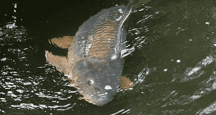 pêcher la carpe à la bouillette